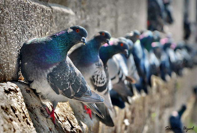 Pigeons On The Wall by Sadettin  Uysal