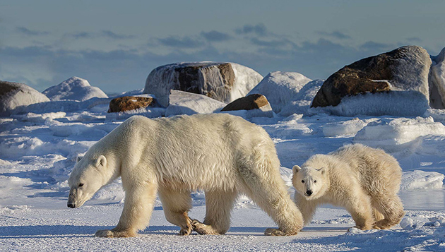 Polar bear and cub  by Charles Glatzer