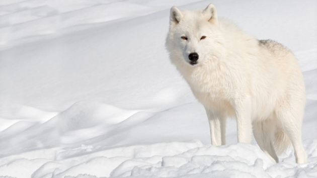Wonderful Arctic Wolf  Pictures (1)