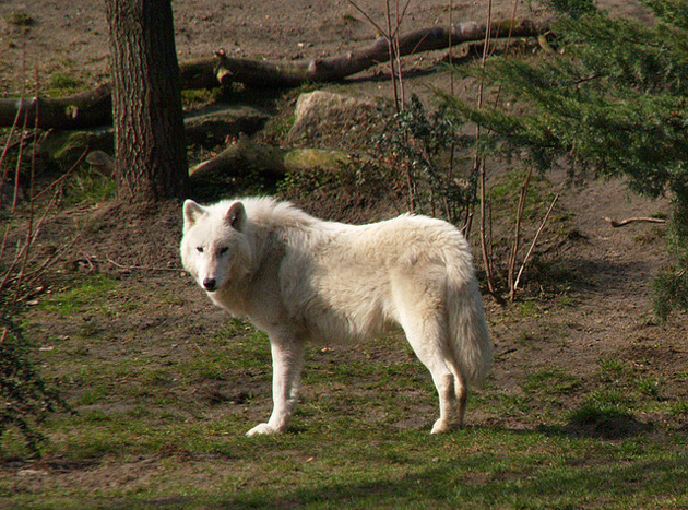 Wonderful Arctic Wolf  Pictures (10)