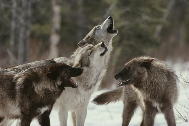 Wonderful Arctic Wolf  Pictures (11)