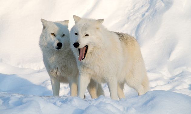 Wonderful Arctic Wolf  Pictures (12)