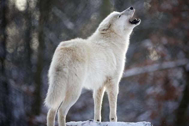 An Arctic wolf howls in enclosure at Wolfspark Werner Freund in Merzig