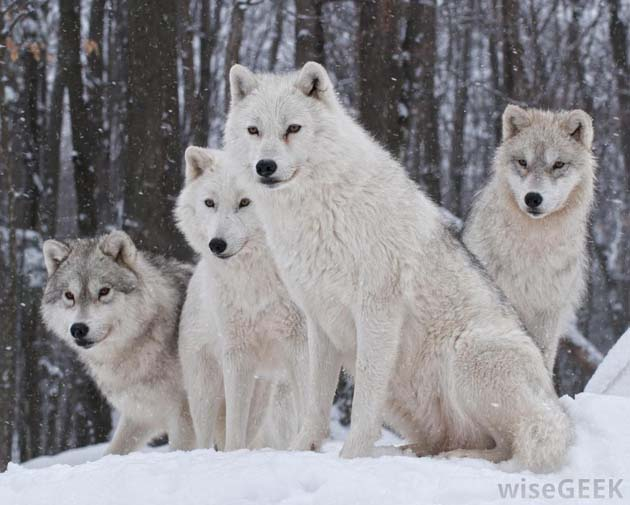 Wonderful Arctic Wolf  Pictures (15)