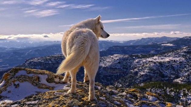 Wonderful Arctic Wolf  Pictures (16)
