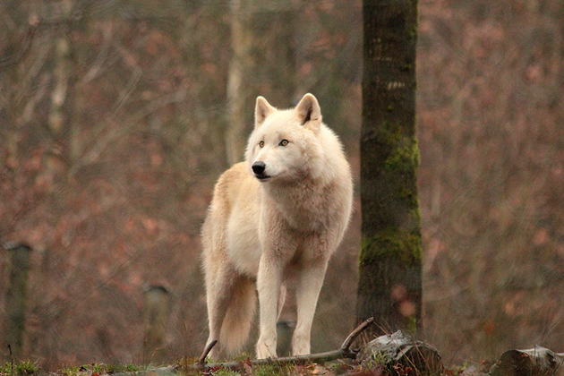 Wonderful Arctic Wolf  Pictures (2)