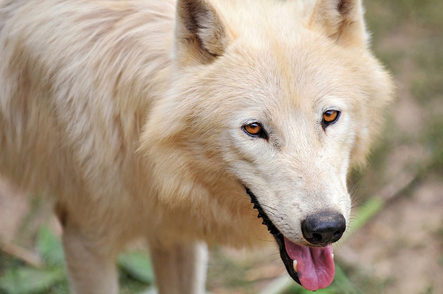 Wonderful Arctic Wolf  Pictures (3)