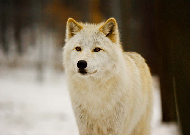 Wonderful Arctic Wolf  Pictures (4)