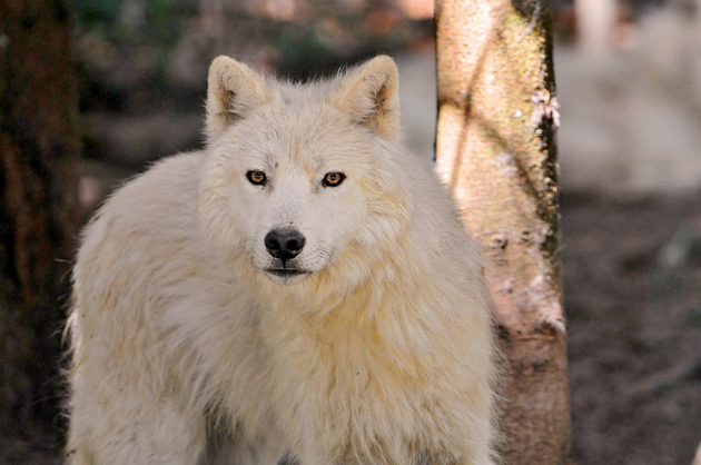 Wonderful Arctic Wolf  Pictures (5)