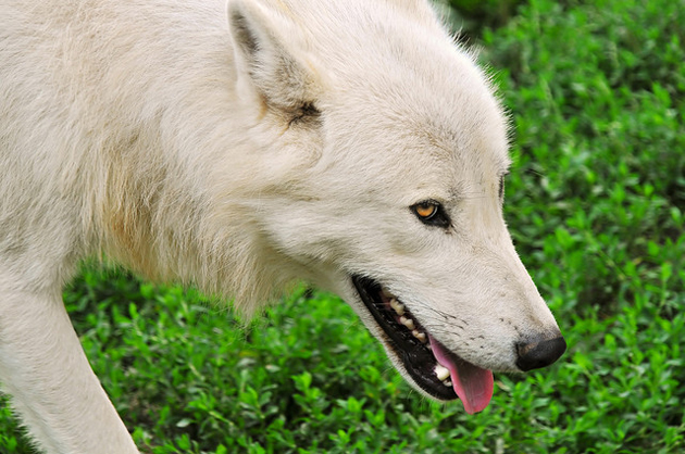 Wonderful Arctic Wolf  Pictures (7)