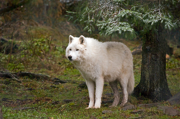 Wonderful Arctic Wolf  Pictures (8)