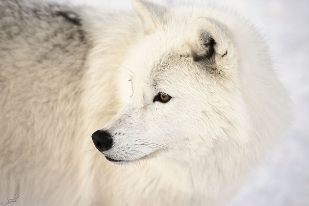 Wonderful Arctic Wolf  Pictures (9)