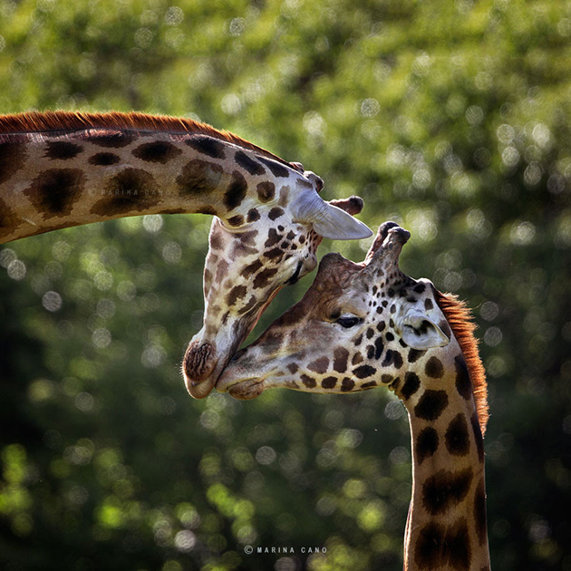 African wildlife photography By Marina Cano (6)