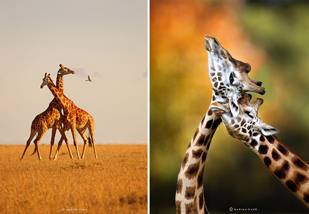 African wildlife photography By Marina Cano (9)
