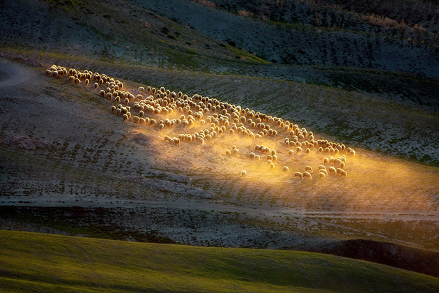 25 Photos Of Sheep Blanketing The Earth  (12)