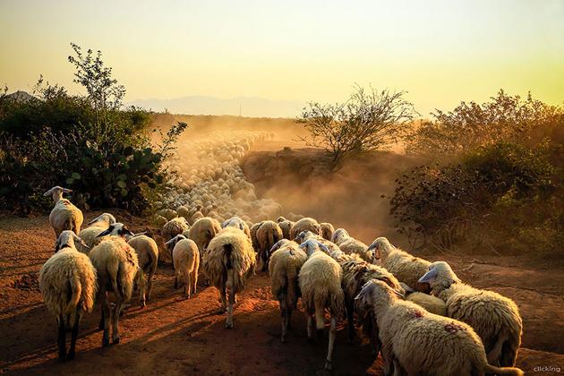25 Photos Of Sheep Blanketing The Earth  (22)