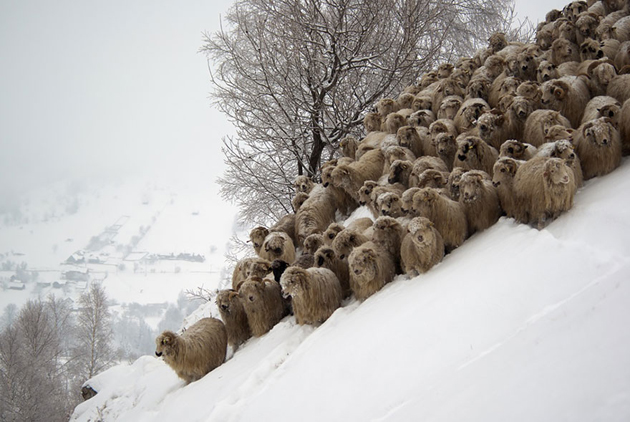 25 Photos Of Sheep Blanketing The Earth  (24)