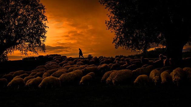 25 Photos Of Sheep Blanketing The Earth  (25)