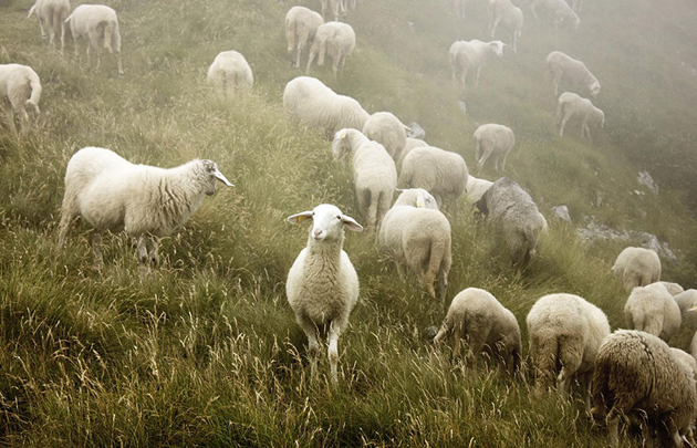 25 Photos Of Sheep Blanketing The Earth  (4)