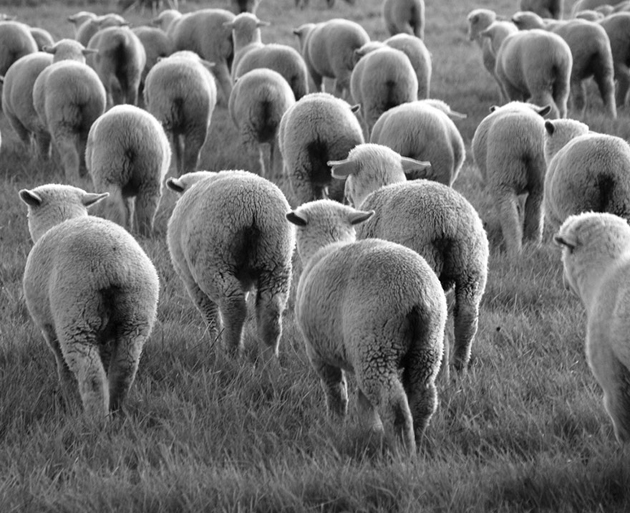 25 Photos Of Sheep Blanketing The Earth  (5)