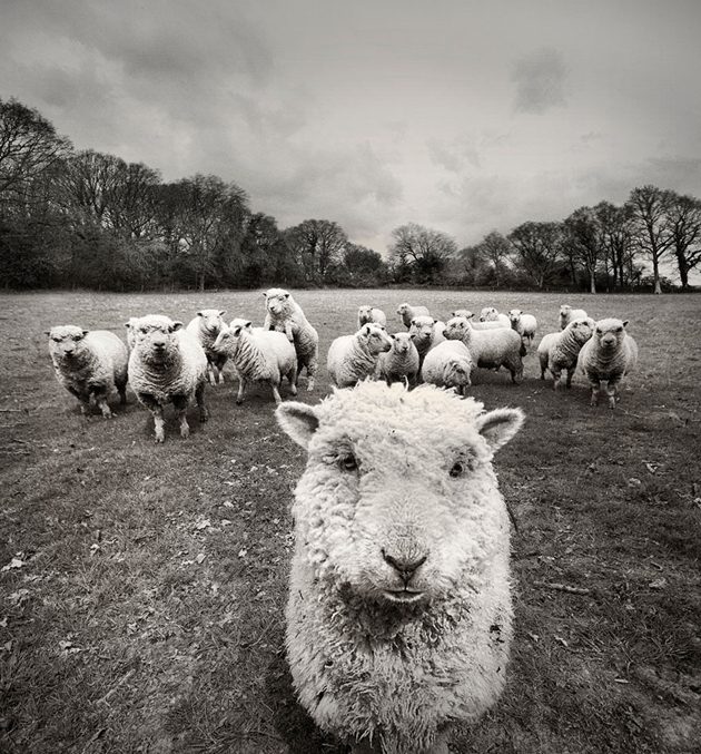25 Photos Of Sheep Blanketing The Earth  (6)