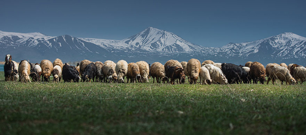 25 Photos Of Sheep Blanketing The Earth  (7)