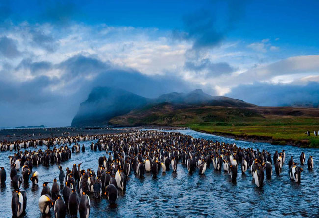 King penguins in Possession Island