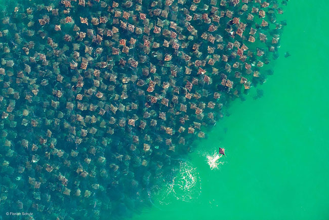 Munk's Devil Rays In Baja, Mexico