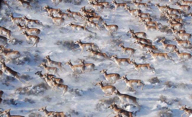Pronghorns in Canada