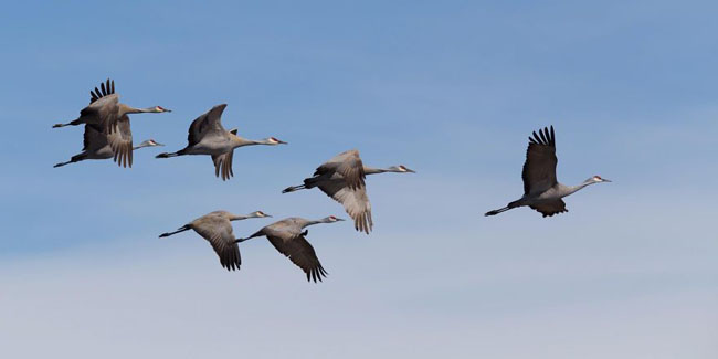 Sand Hill Cranes Leaving Palmer, Alaska