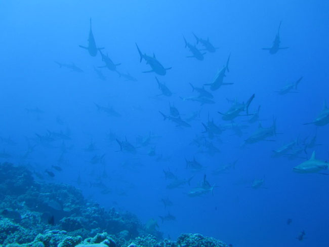 Shark Wall In Fakarava