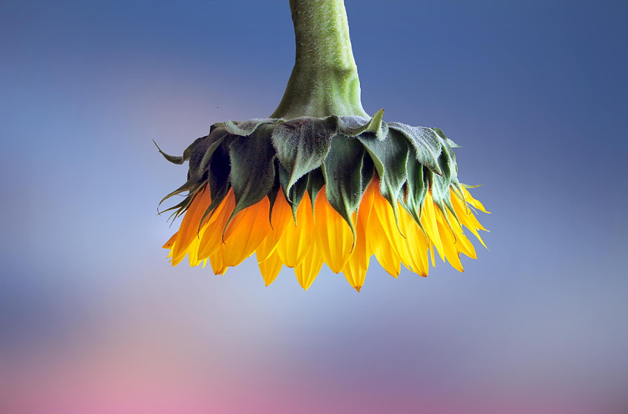 Sunflower by Bess Hamiti on 500px