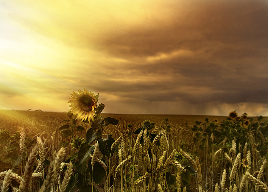 Sunflower by Isidoro M on 500px
