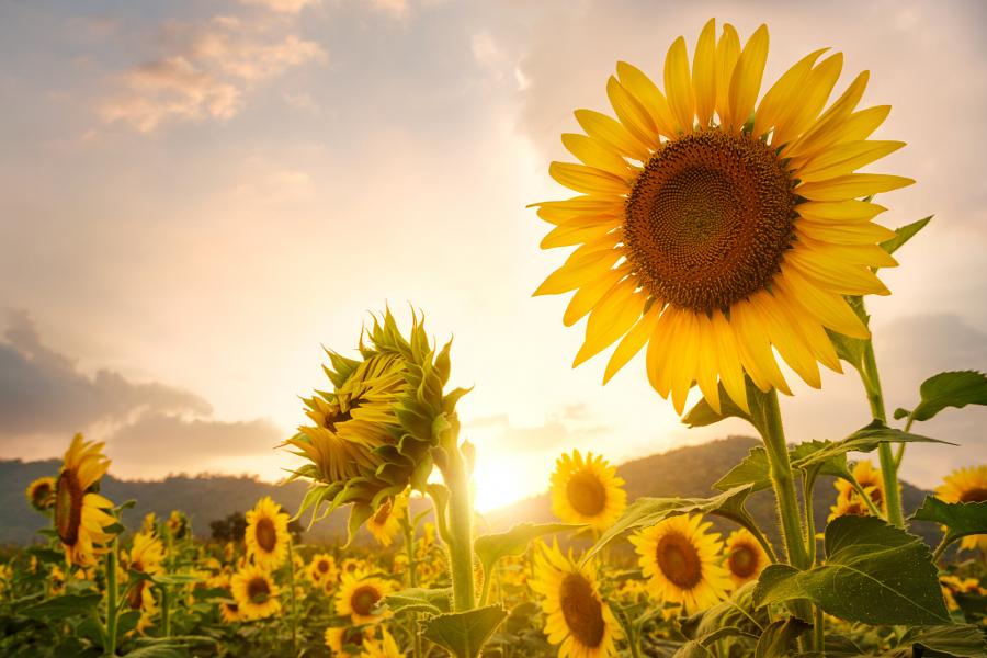 Closeup sunflower field