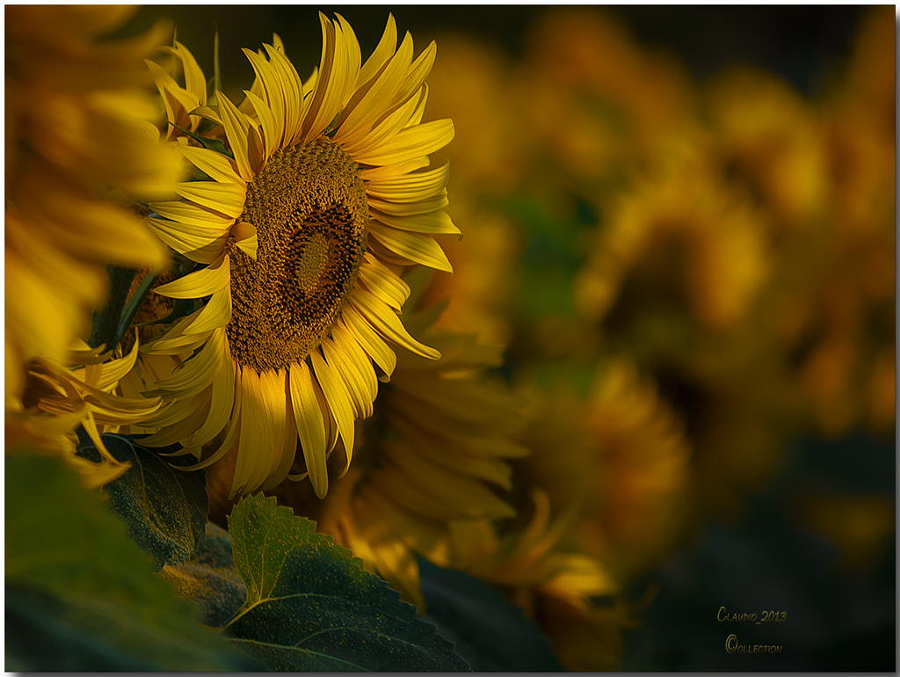 Sunflowers into the morning light by Claudio on 500px