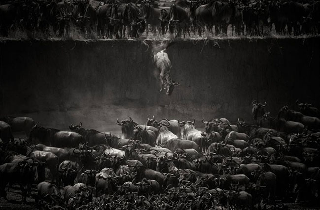 Wildebeest Over The Mara River, Northern Serengeti