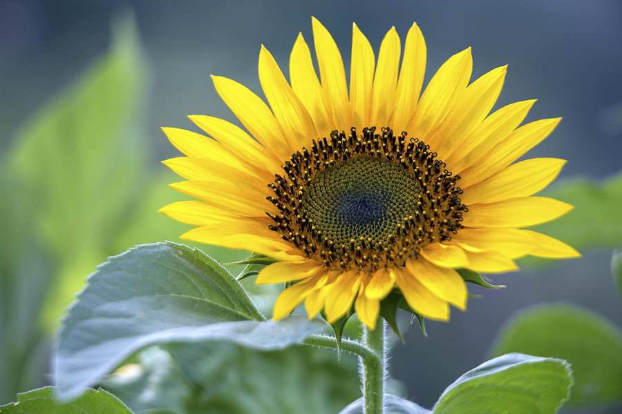 sunflower by fabio greco on 500px
