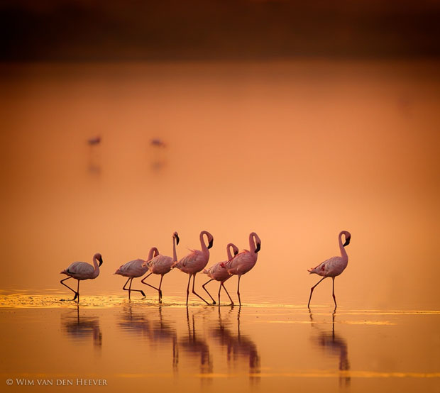 Flamingo's in gold by Wim van den Heever on 500px