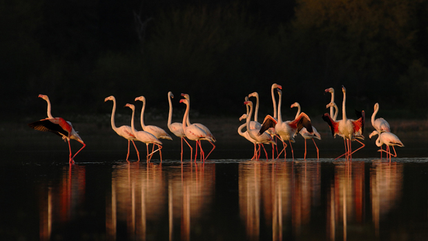 Greater Flamingo at Sunset by Farhan Younus on 500px