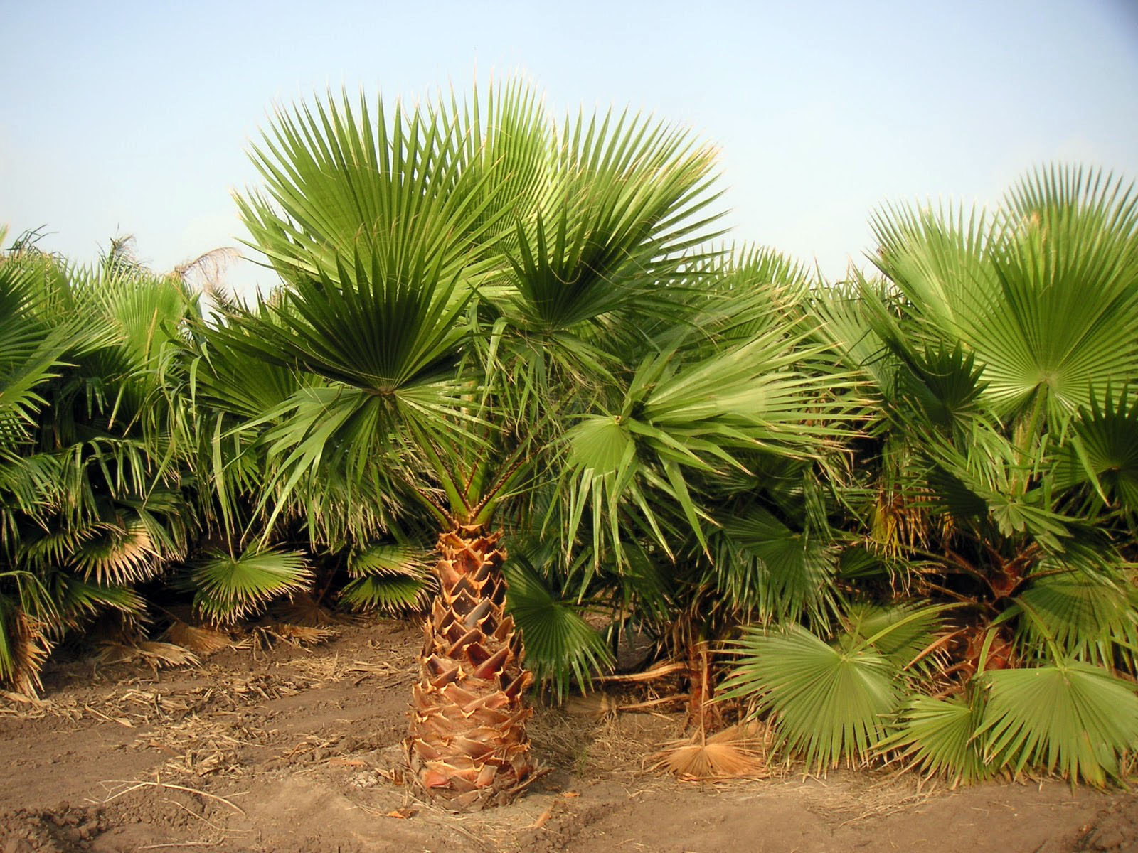 Pictures of Different Types of Palm Trees (12)