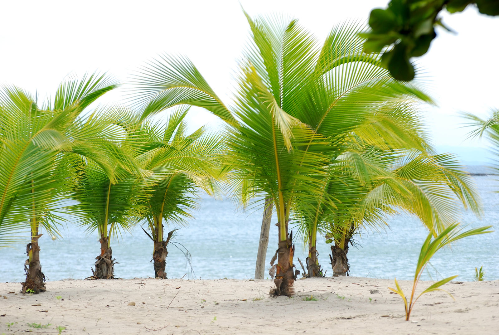 Pictures of Different Types of Palm Trees (13)