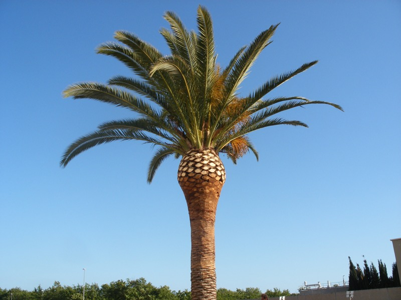 Pictures of Different Types of Palm Trees (5)