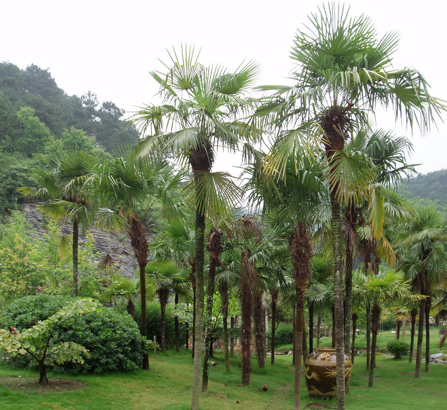Pictures of Different Types of Palm Trees (7)