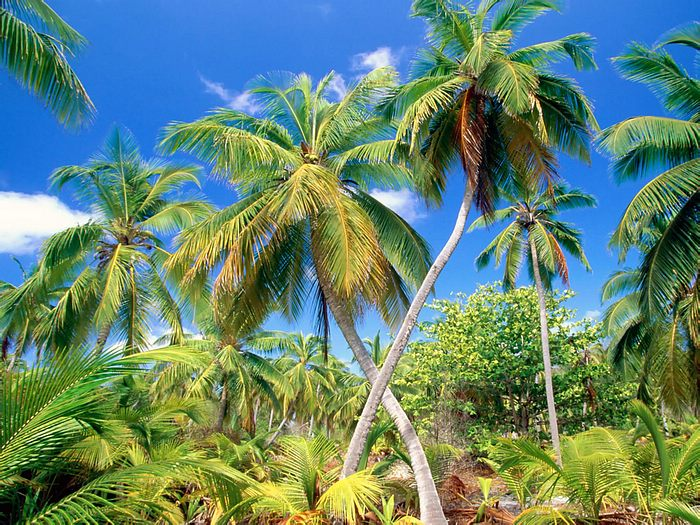 Pictures of Different Types of Palm Trees (9)
