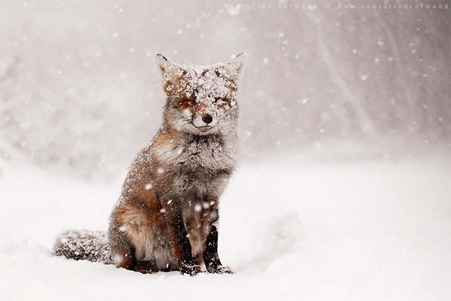 Beautiful Wild Foxes by Roeselien Raimond (11)