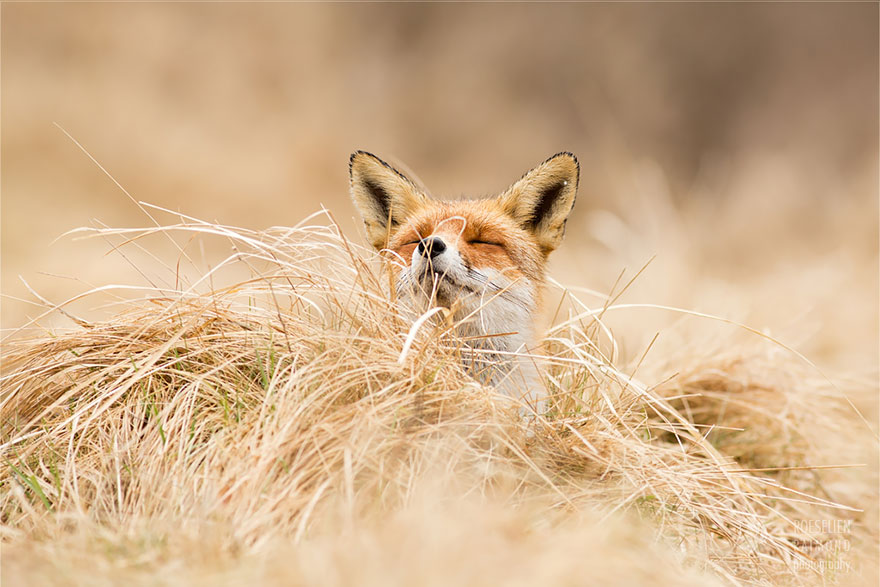 Beautiful Wild Foxes by Roeselien Raimond (12)