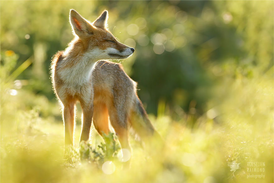 Beautiful Wild Foxes by Roeselien Raimond (13)