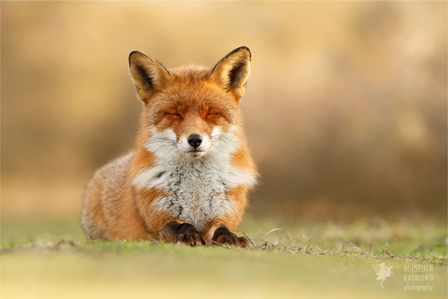 Beautiful Wild Foxes by Roeselien Raimond (4)