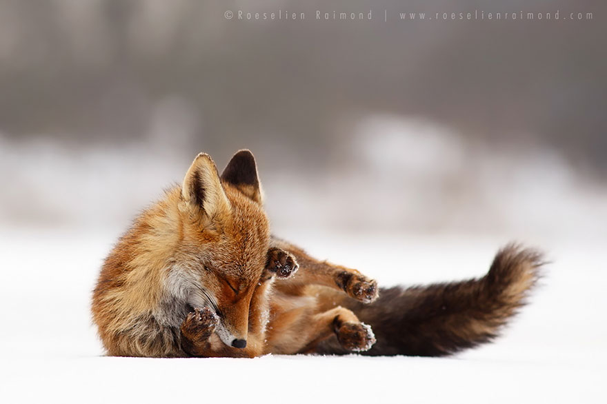 Beautiful Wild Foxes by Roeselien Raimond (5)