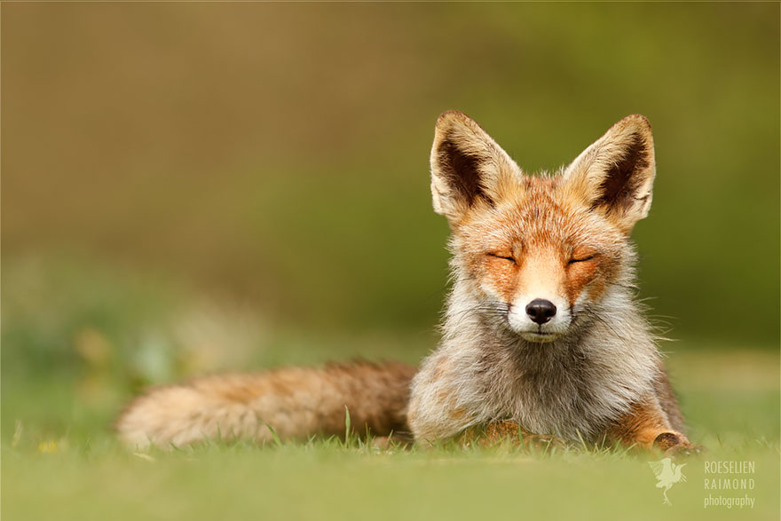 Beautiful Wild Foxes by Roeselien Raimond (6)